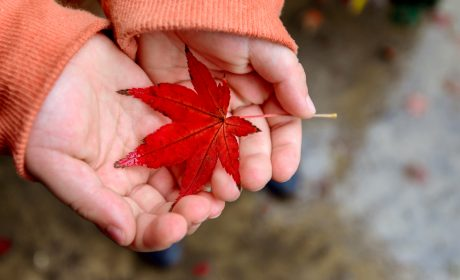 Person holding a red maple leaf